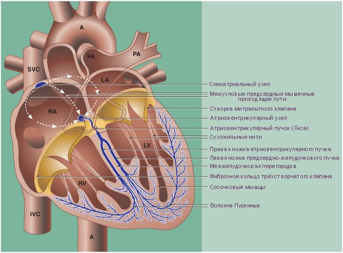 Система сердца схема